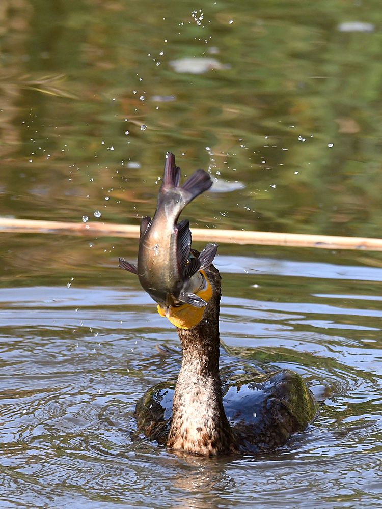 Post your birds (2)-cormorant7.jpg