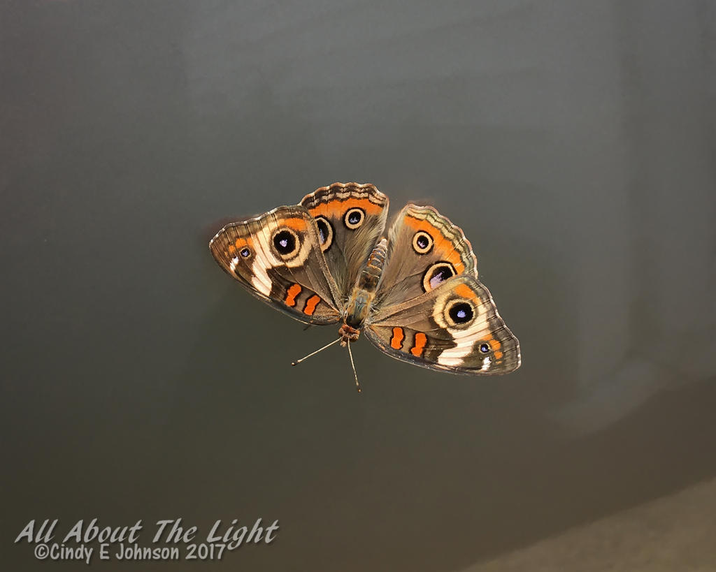 Post your Moths & Butterflies-img_0344-low-res.jpg