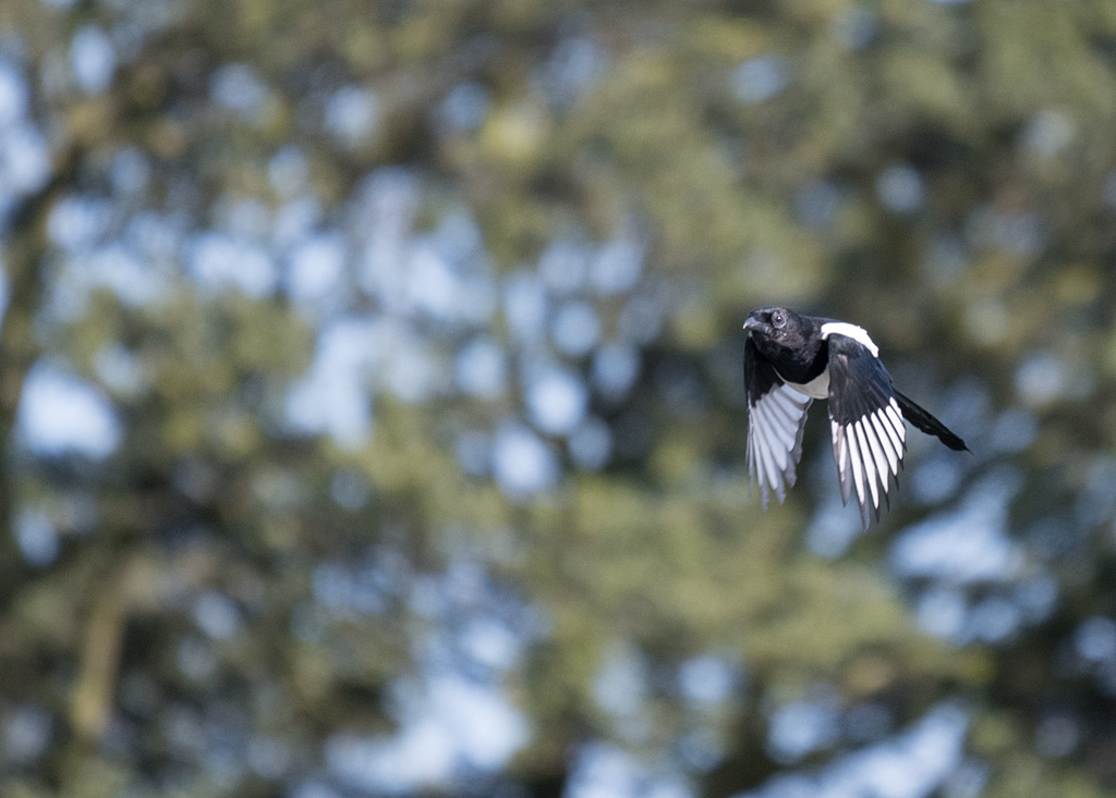 Post your Birds in Flight-dsc_4045.jpg