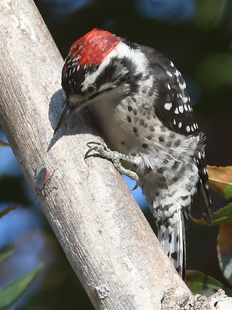Post your birds (2)-woodpecker2.jpg
