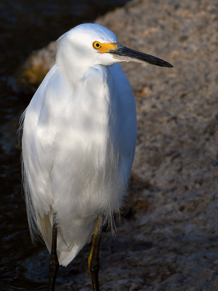 Post your birds (2)-egret3.jpg