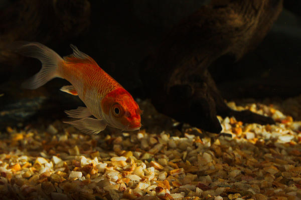 Fish photos?-dsc_0783-pond-fish-aquarium-0005.jpg