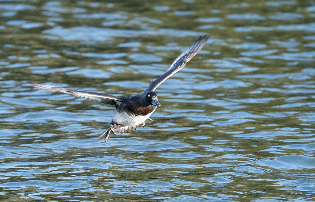 Post your Birds in Flight-dsc_6641.jpg
