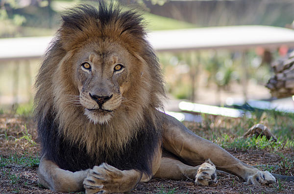 Post your zoo photos-lion-1-1-.jpg