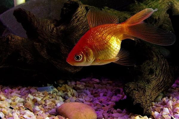 Fish photos?-dsc_3624-sm-fishtank-godox-ad200-first-use-0023.jpg