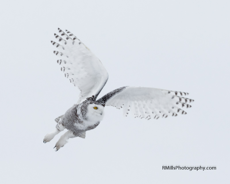 Snowy Owl in action. WARNING: Graphic Images!-p2030003.jpg