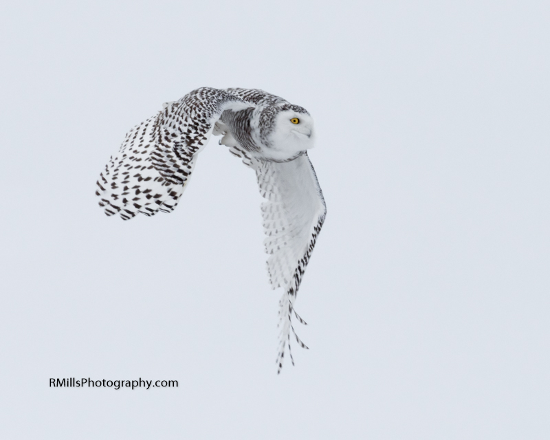 Snowy Owl in action. WARNING: Graphic Images!-p2030005-2.jpg