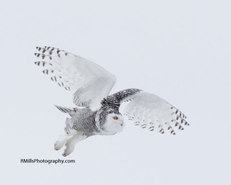 Snowy Owl in action. WARNING: Graphic Images!-p2030006.jpg