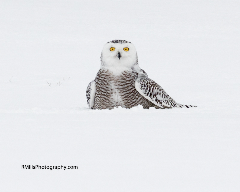 Snowy Owl in action. WARNING: Graphic Images!-p2030021-2.jpg