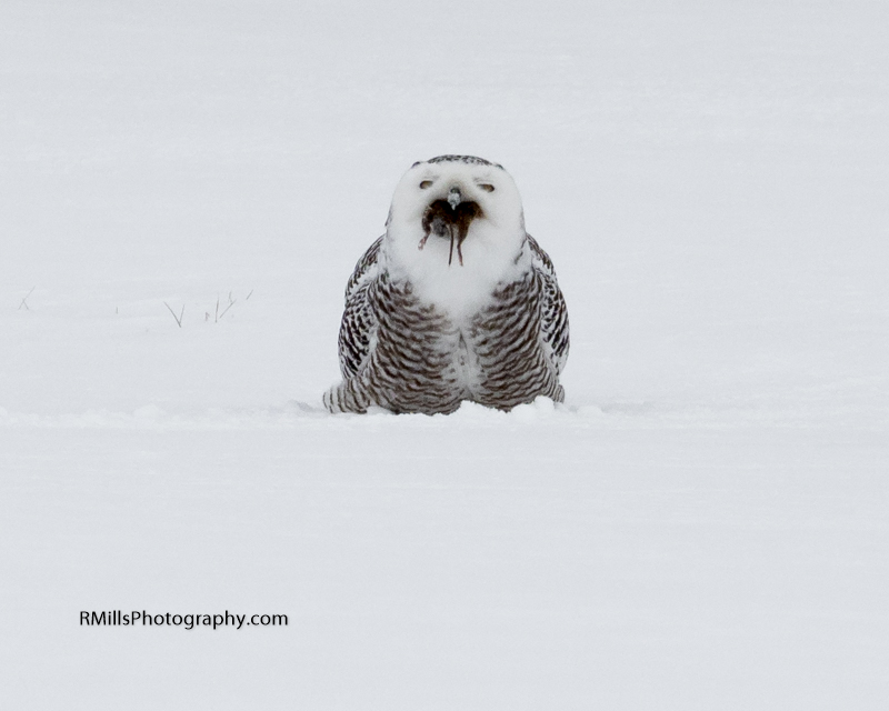 Snowy Owl in action. WARNING: Graphic Images!-p2030036-2.jpg