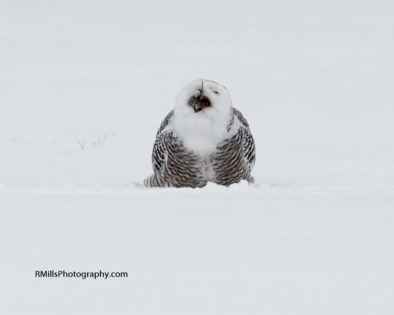 Snowy Owl in action. WARNING: Graphic Images!-p2030037-2.jpg