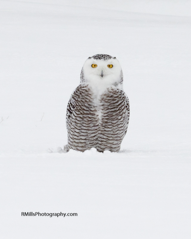 Snowy Owl in action. WARNING: Graphic Images!-p2030041.jpg