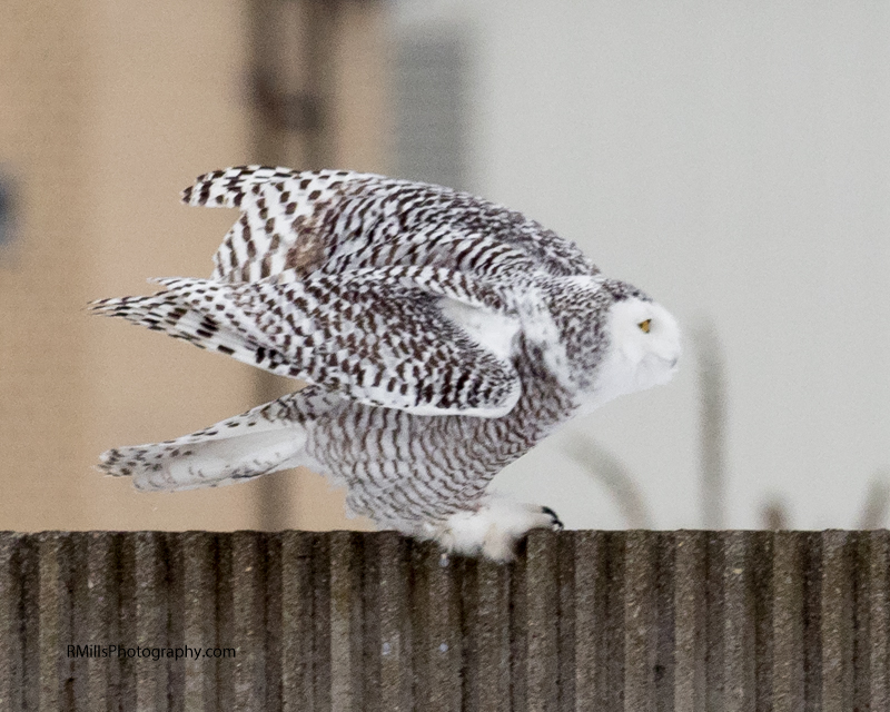 Snowy Owl in action. WARNING: Graphic Images!-p2030062-2.jpg
