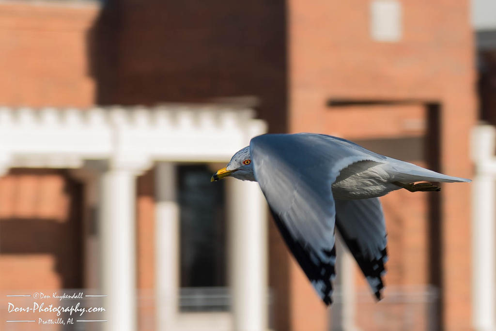 Post your Birds in Flight-02-08-2018_0105-edit.jpg