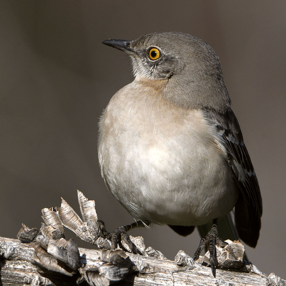 Post your birds (2)-mockingbird4.jpg