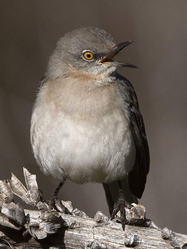 Post your birds (2)-mockingbird.jpg