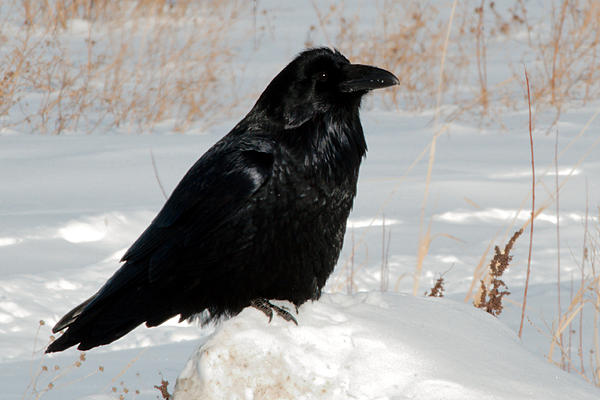 Post your birds (2)-dsc_2435-raven-feb-2018-cold-lake-0002.jpg