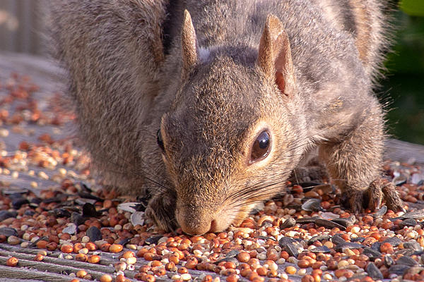Post your Squirrel pictures-rlw_0234.jpg