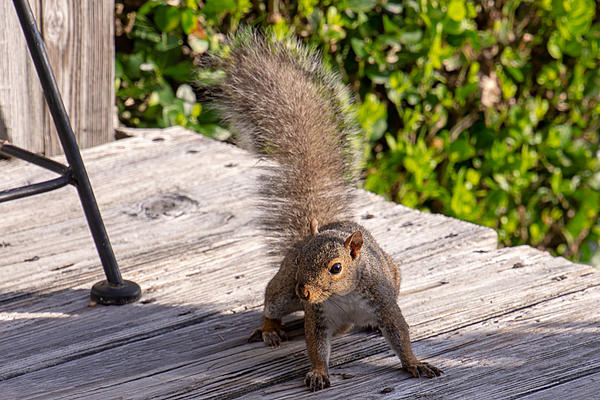 Post your Squirrel pictures-rlw_0250.jpg