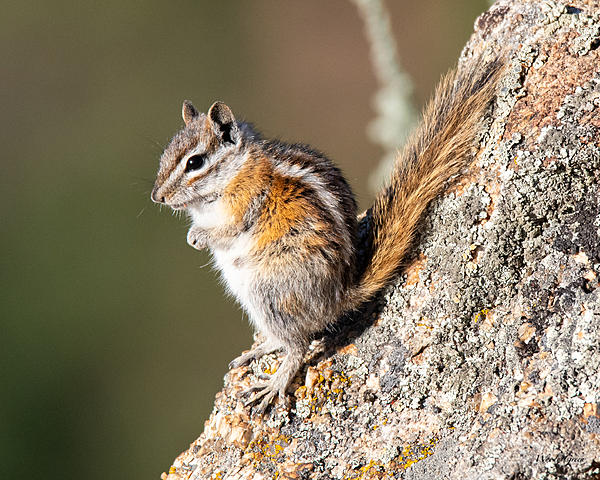Post your Squirrel pictures-chipper-345.jpg