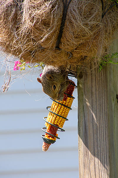 Post your Squirrel pictures-rlw_0848.jpg