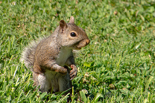 Post your Squirrel pictures-rlw_0850.jpg