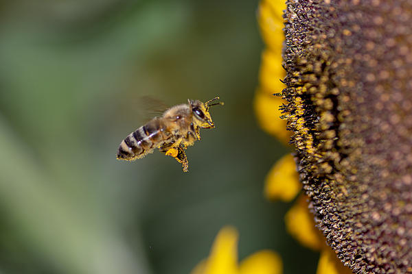 Post your Bees in Flight photos!-rlw_1460.jpg