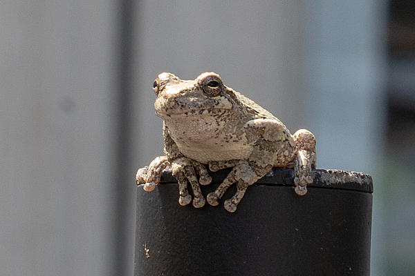 Post  your Frogs, Toads and Amphibians!-rlw_2611.jpg