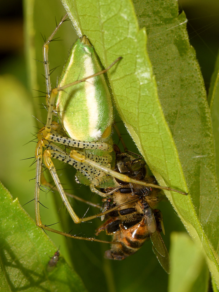 Post your spiders-lynx.jpg