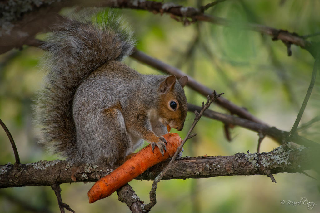 Post your Squirrel pictures-d72_4493.jpg