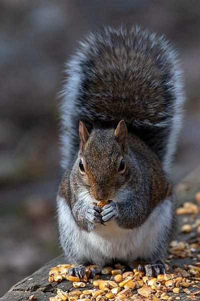 Post your Squirrel pictures-nik_0633.jpg