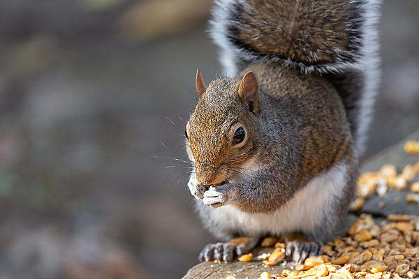 Post your Squirrel pictures-nik_0639.jpg