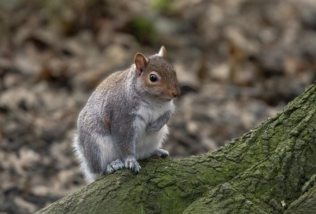 Post your Squirrel pictures-mik_0624.jpg