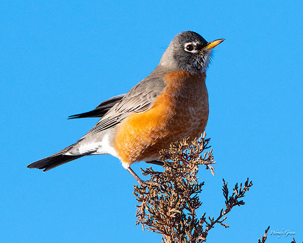 Post your birds (2)-robin-401.jpg