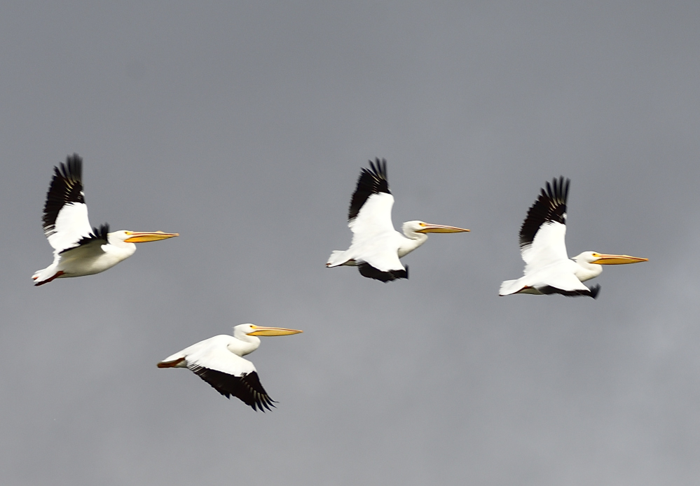 Post your Birds in Flight-_roy0676_00001.jpg