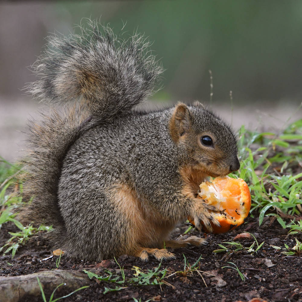 Post your Squirrel pictures-squirrel.jpg