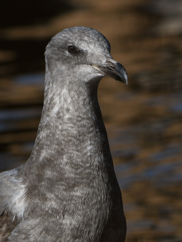 Post your birds (2)-gull3.jpg