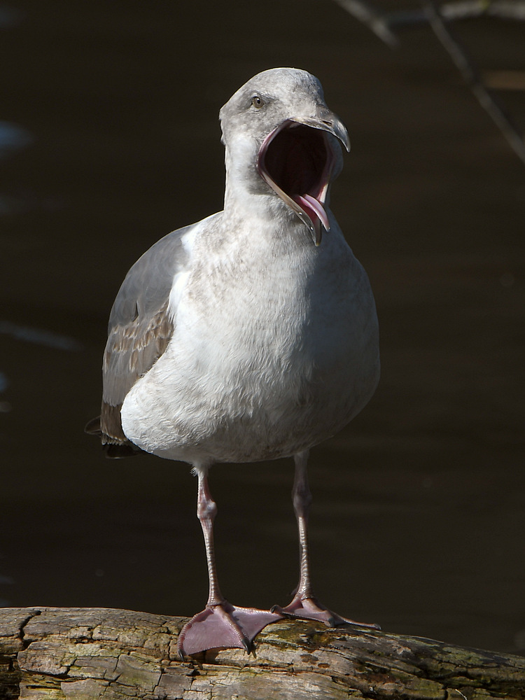 Post your birds (2)-gull4.jpg