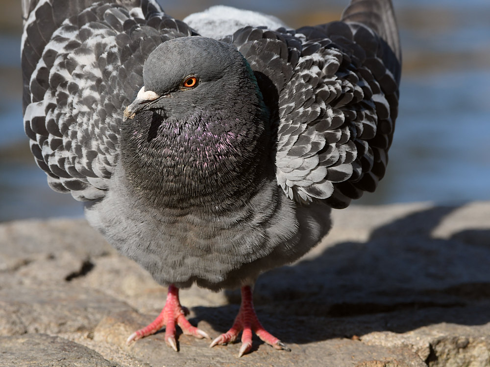 Post your birds (2)-pigeon4.jpg