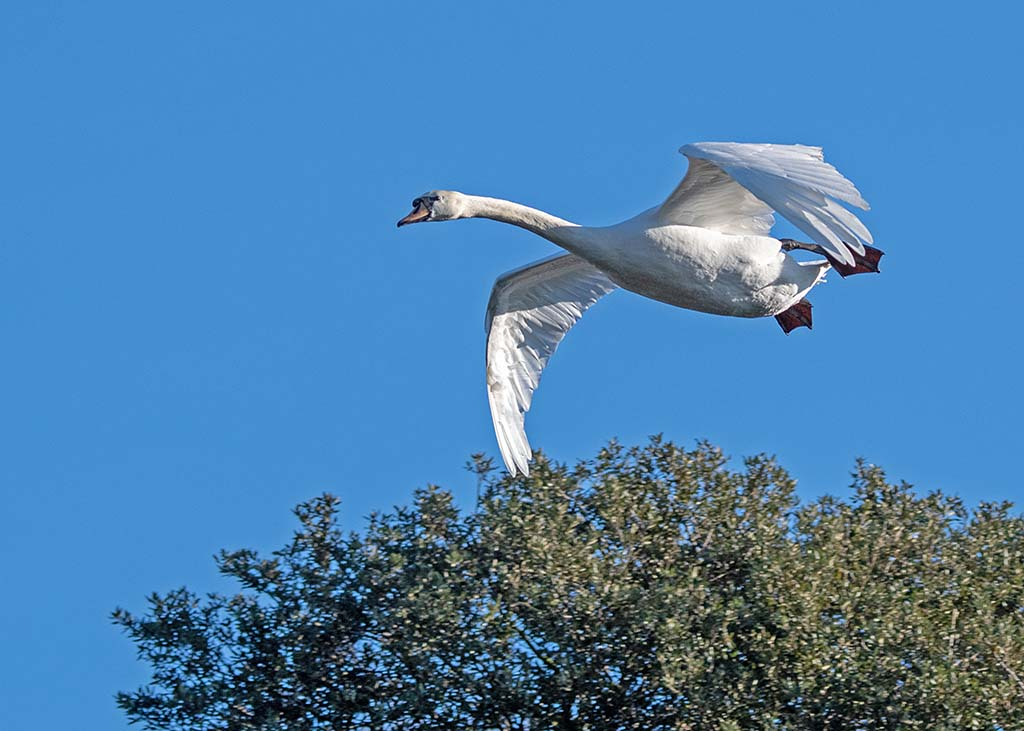 Post your Birds in Flight-mik_1174.jpg