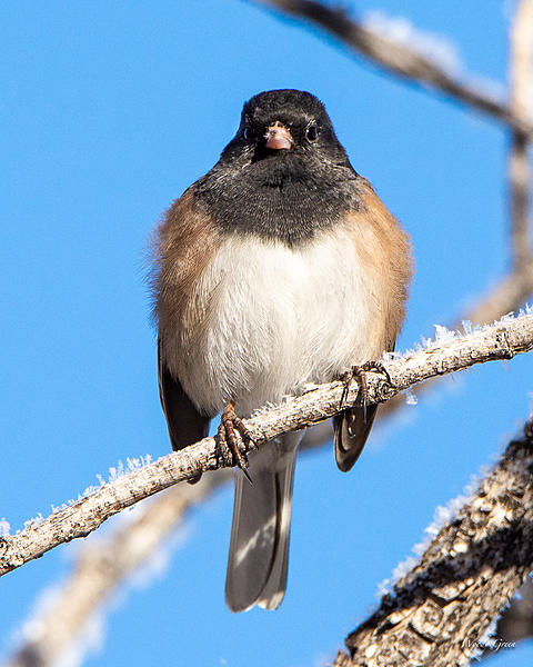 Post your birds (2)-junco-401.jpg