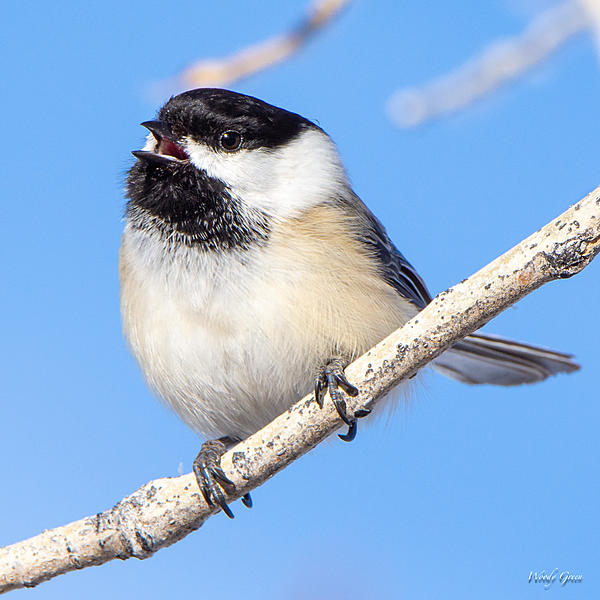 Post your birds (2)-chickadee-410.jpg