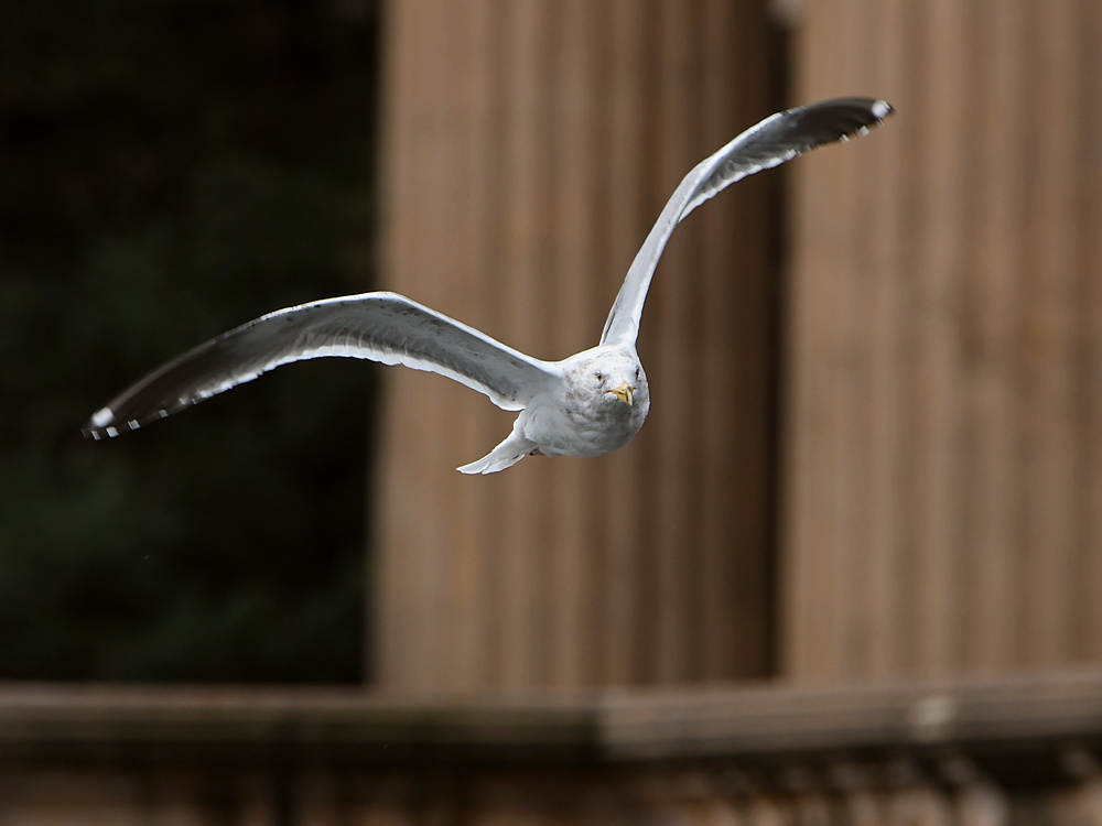 Post your Birds in Flight-gull2.jpg