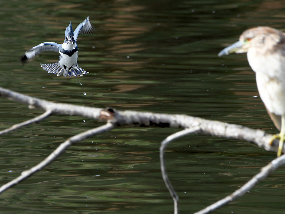 Post your Birds in Flight-kingfisher.jpg
