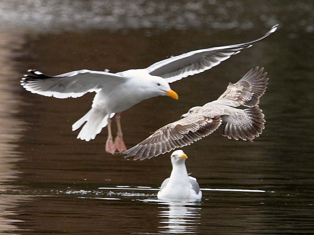 Post your Birds in Flight-gull3.jpg