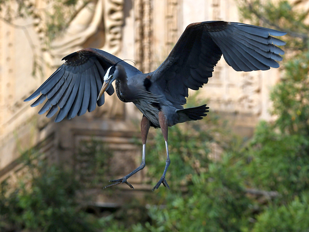 Post your Birds in Flight-blueheron9.jpg