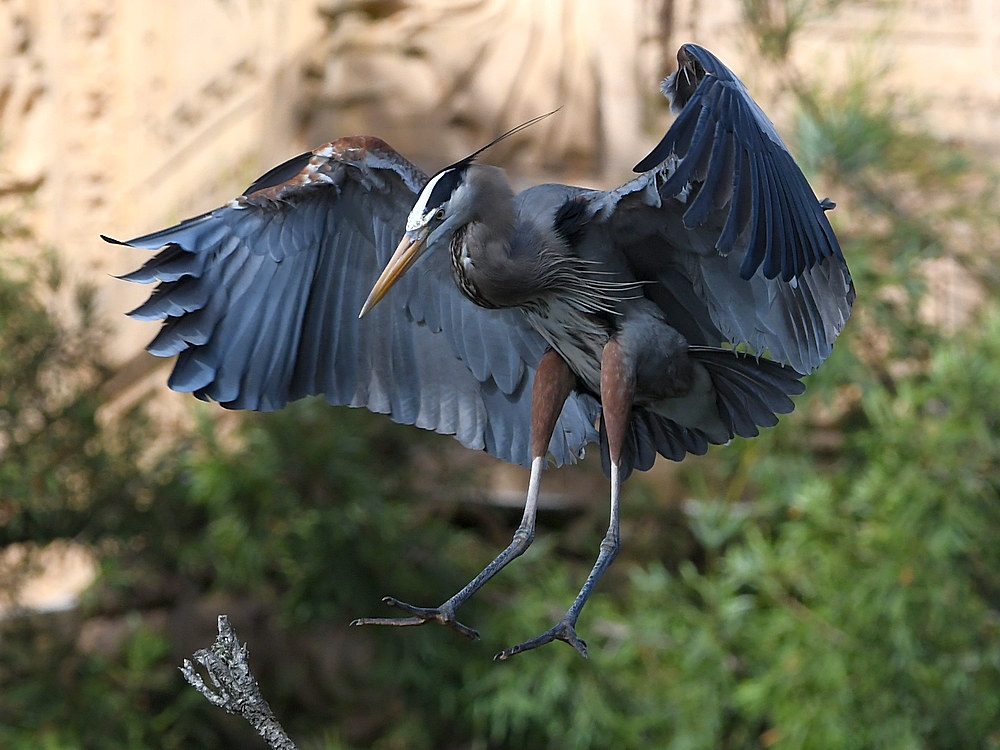 Post your Birds in Flight-blueheron10.jpg