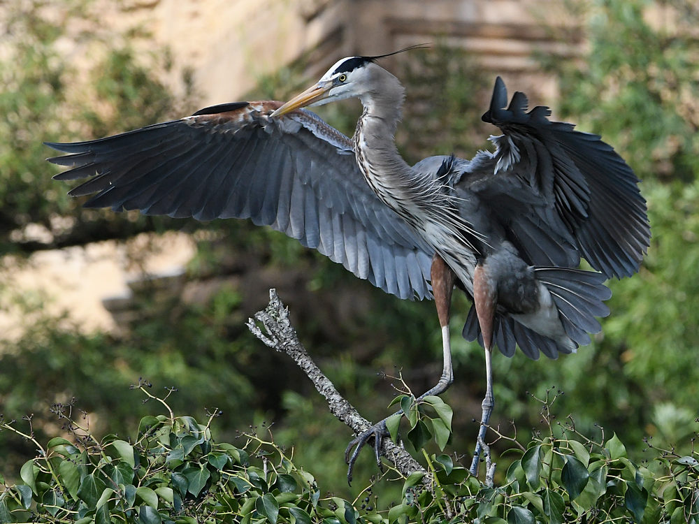 Post your Birds in Flight-blueheron12.jpg