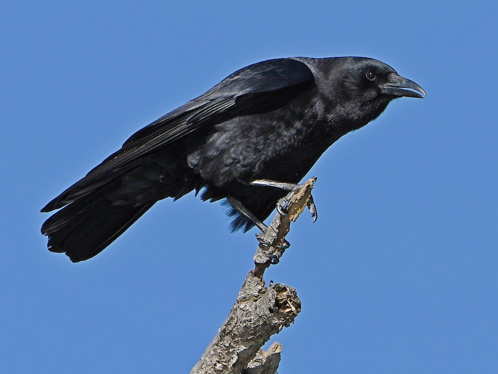 Post your birds (2)-crow3.jpg