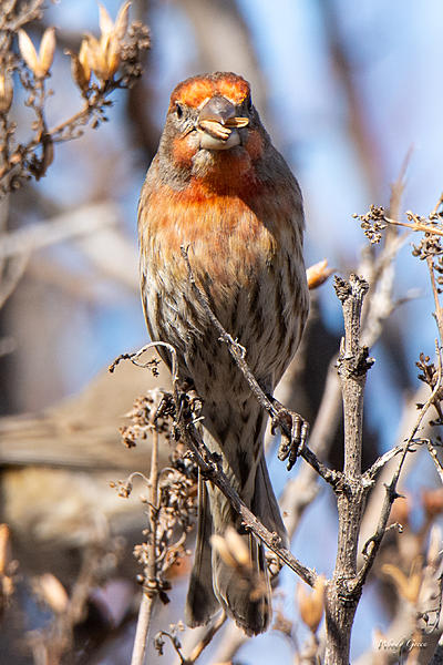 Post your birds (2)-housefinch-447.jpg